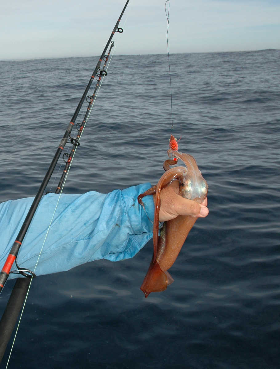 When you bring the squid to the boat, try to keep the head pointing away from you unless you want an ink bath.